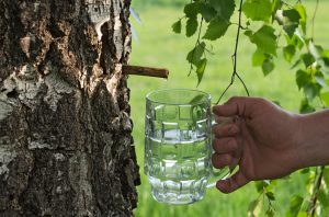 See 12 Surprising Help Birch Sap Water Can Do For Your Health
