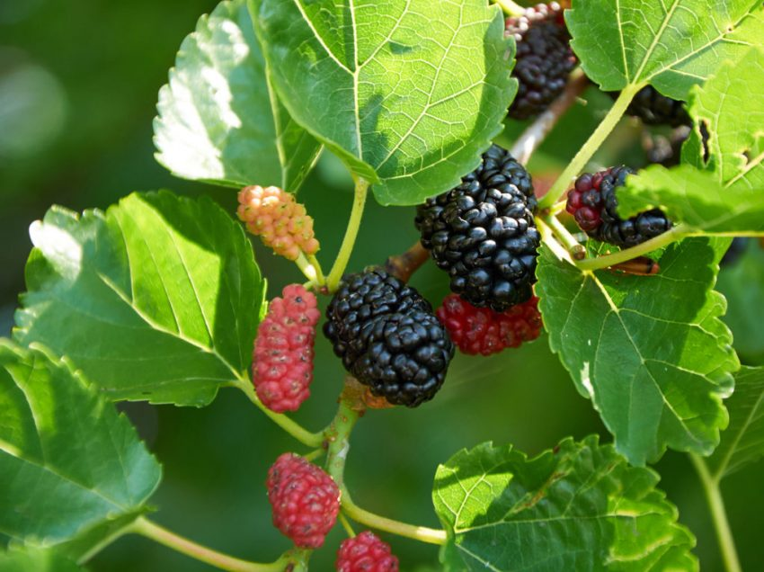 16 Health Benefits of Mulberry Leaves That You Have to Know About