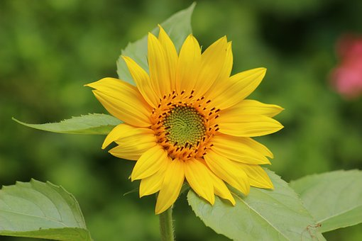 10 Amazing Health Benefits of Sunflower Leaves