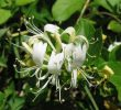 15 Benefits of Japanese Honeysuckle for Peaceful Mind and Body
