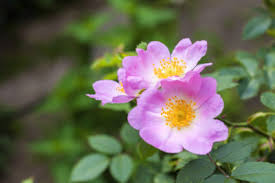 10 Unpredictable Health Benefits of Dog Rose