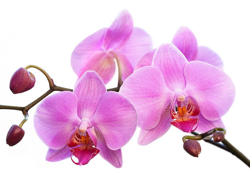 19 Benefits of Orchids Flower for Health That You Should Know