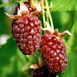 25 Amazing Health Benefits of Loganberry