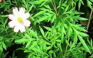 10 Health Benefits of Cosmos Caudatus – Recommendation Intake