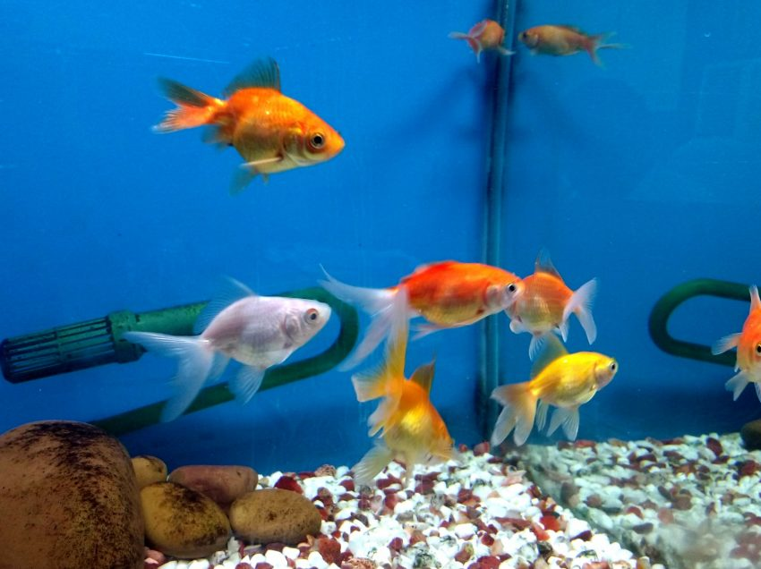 12 Surprising Benefits of Ornamental Fish for Health