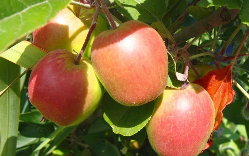 10 Surprising Health Benefits of Anna Apple