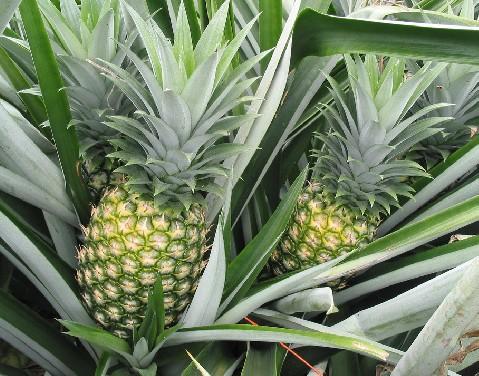 17 important health benefits of pineapple leaves dr heben. Black Bedroom Furniture Sets. Home Design Ideas