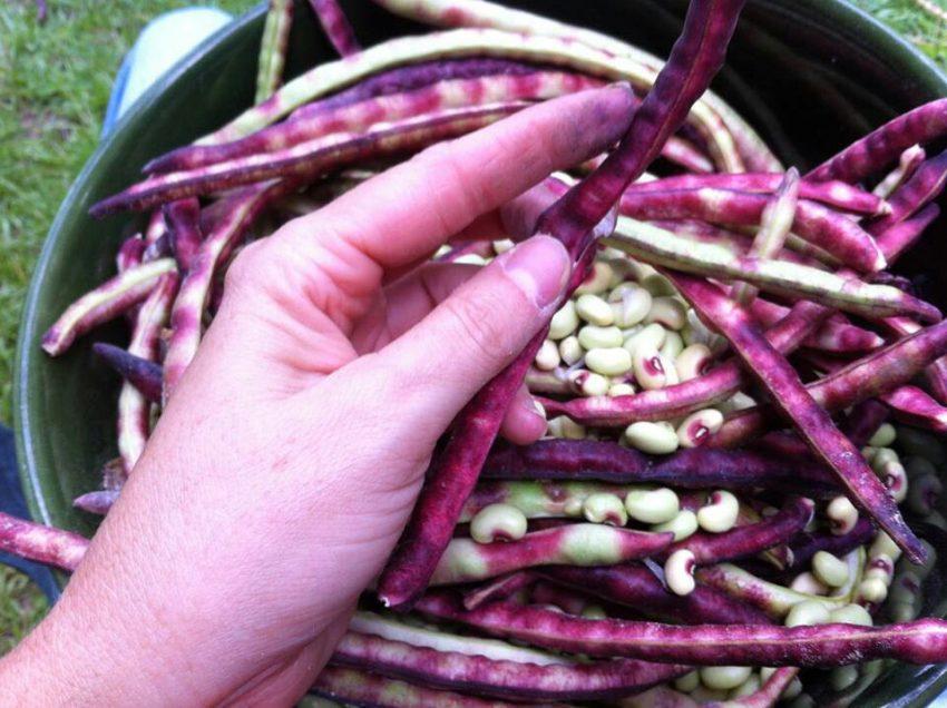 10 Health Benefits of Purple Hull Peas #1 for Digestive Treatment