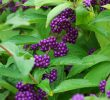 12 Famous Health Benefits of Purple Berries #Top for Eyes Health