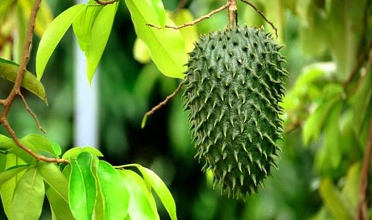 17 Proven Health Benefits of Guyabano Leaves in Pregnancy