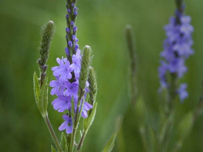 12 Wonderful Health Benefits of Vervain Herb for Wellness