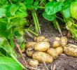16 Proven Health Benefits of Potato Leaves
