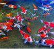 11 Surprising Health Benefits of Koi Fish (Great Hobby)