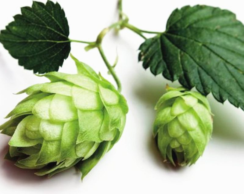 12 Incredible Health Benefits of Hops Herbs for Peaceful Mind