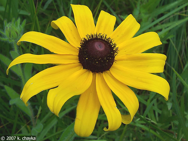 Top 10 health benefits of black eyed susan the yellow daisy dr heben mightylinksfo