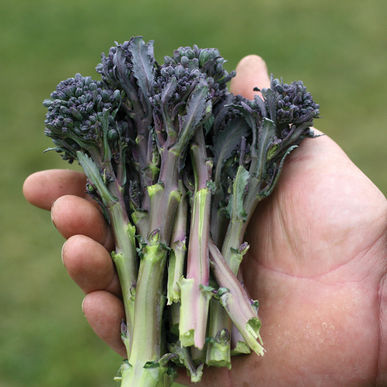 6 Unexpected Health Benefits of Purple Sprouting Broccoli