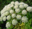 15 Health Benefits of White Angelica Essential Oil for Emotional Calmness