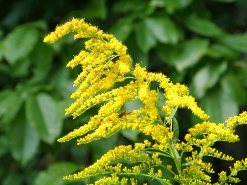 16 Amazing Health Benefits of Goldenrod You Should Know