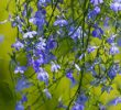 10 Unexpected Health Benefits of Lobelia Herb #Scientific