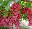 10 Awesome Benefits of Red Grapes for Skin Health and Beauty