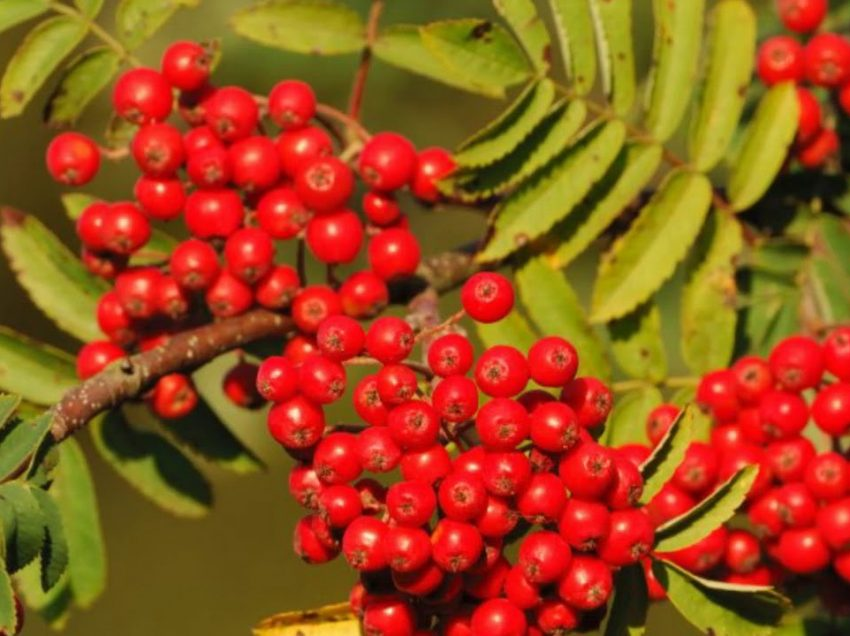 5 Top Health Benefits of Rowan Berries That You Should Know
