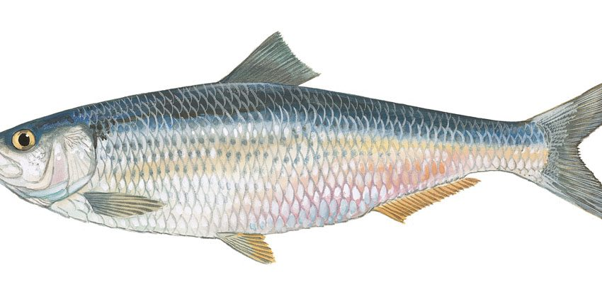 Special Health Benefits of Herring Fish for Brain and Muscle