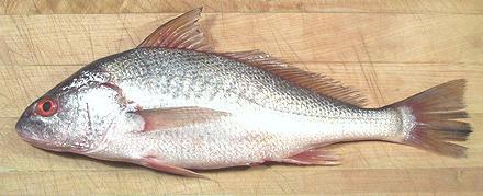 croaker fish