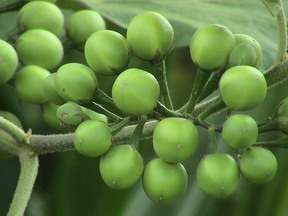 The Greatest Health Benefits of Gully Bean for Natural Medication