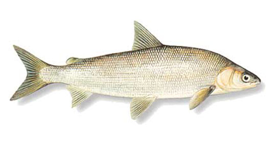 Find Out the Amazing Health Benefits of WhiteFish Here!