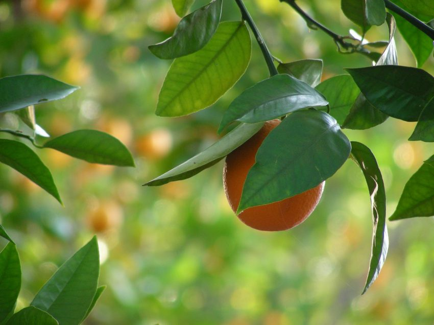 Health Benefits of Orange Tree Tea Leaves – High Antioxidant Sources