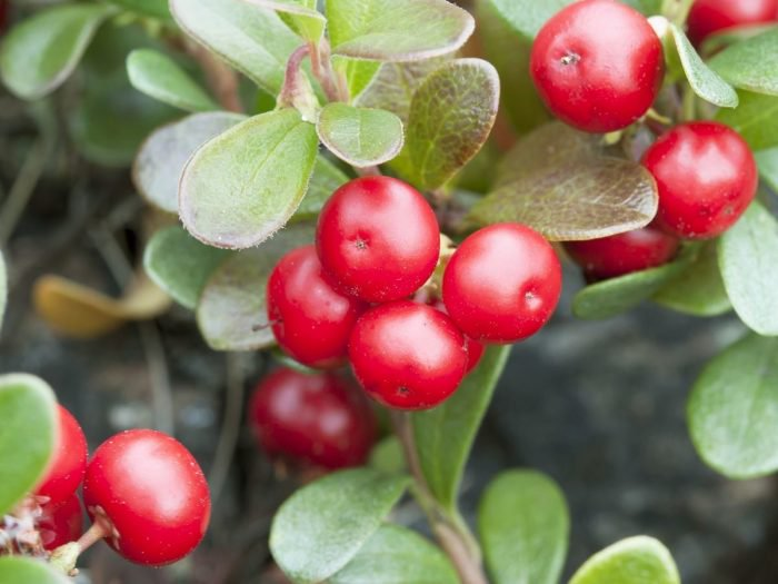 Health Benefits of Bearberry – Types – Facts – Side Effects