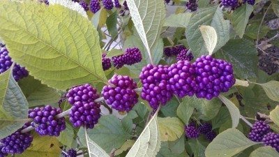 Health Benefits of Beautyberry – Herbs Uses That You Never Known