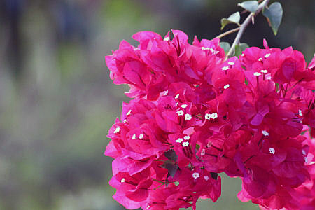 Health Benefits of Bougainvillea Flowers (#1 Effective Home Remedy)
