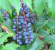 Health Benefits of Oregon Grape Berries – Proven Herb Uses