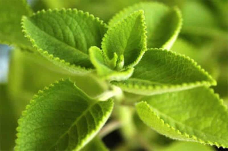 Incredible Health Benefits of Indian Borage – Proven Herbal Cure