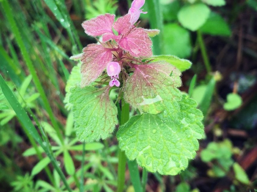 Health Benefits of Purple Dead-Nettle That No One Ever Knows!