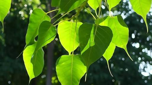 17 Useful Benefits of Leaves of Peepal for Health – Proven Herbal Cure