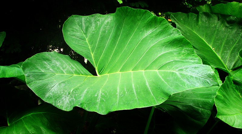 13 Amazing Health Benefits of Gabi Leaves for Herbal Treatment