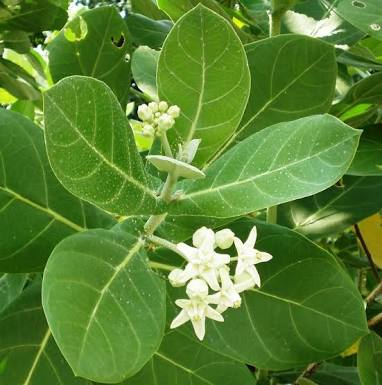 16 Superb Benefits of Aak Leaves for Health That You Never Knew!