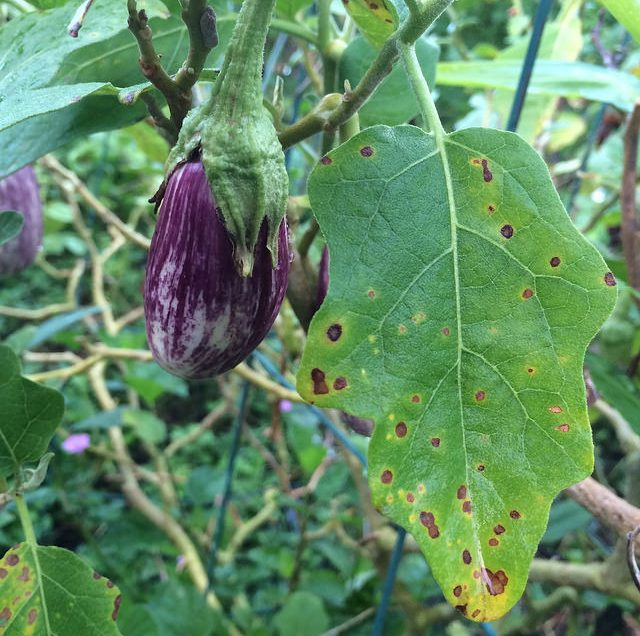 Surprising Health Benefits of African Eggplant Leaves Revealed!