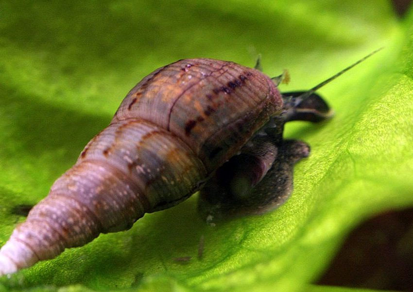 8 Incredible Benefits of Malaysian Trumpet Snails – Best Protein Source