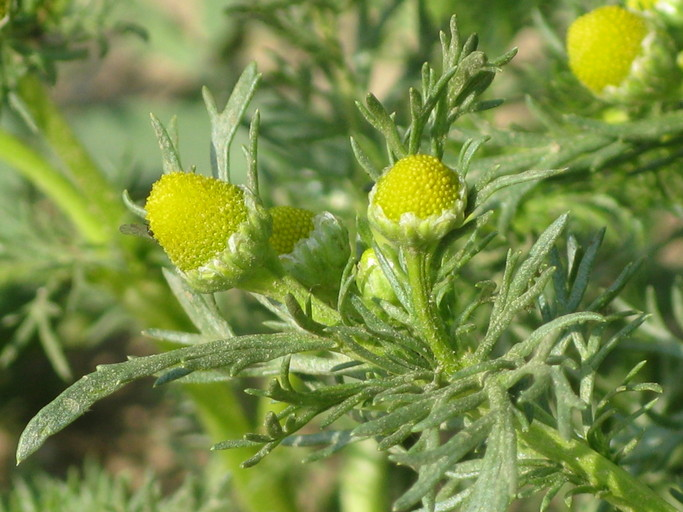 Medicinal Uses and Health Benefits of Pineapple Weed