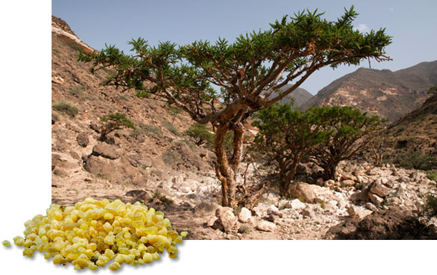 11 Powerfull Benefits of Indian Frankincense for Inflammation