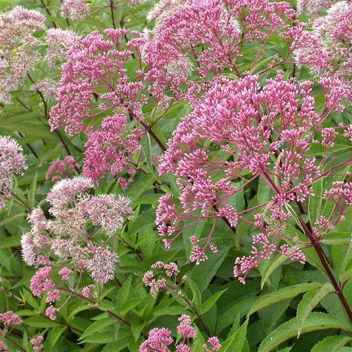 Health Benefits of Joe Pye Weed – Tell Your Friends about It!