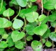 Health Benefits of Pansit-Pansitan (Peperomia pellucida Linn)