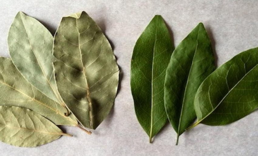 14 Incredible Benefits of Bay Leaves for Weight Loss For Herbal Lover
