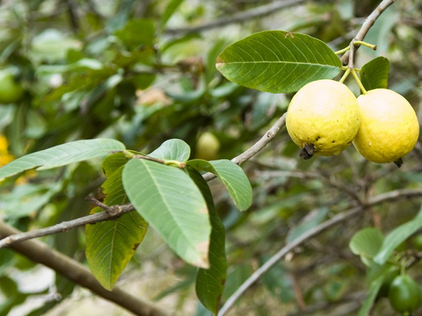 11 Unpredictable Benefits of Guava Leaves for Weight Loss, Must Know