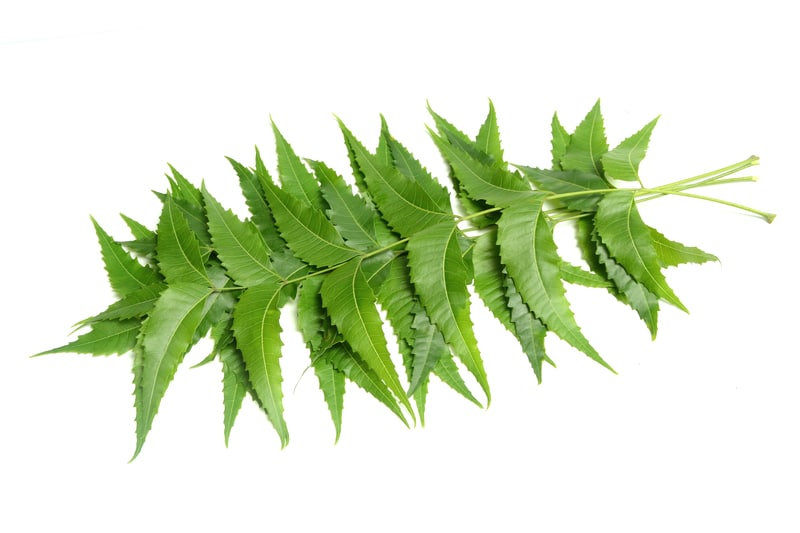 10 Hidden Benefits of Eating Neem Leaves for Weight Loss You Should Know