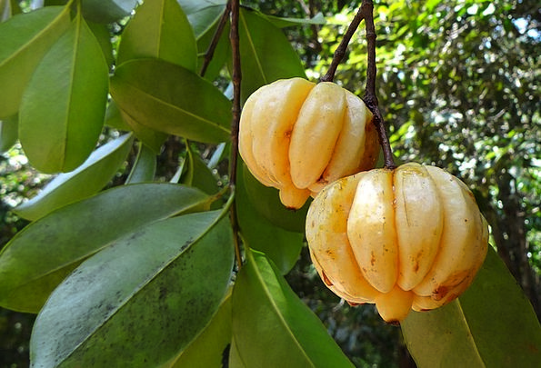 8 Amazing Benefits of Fruit Garcinia Cambogia – #1 Herbal Fruit