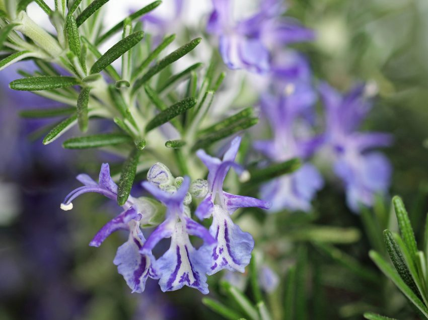 11 Super Benefits of Rosemary for Muscle You Should Know